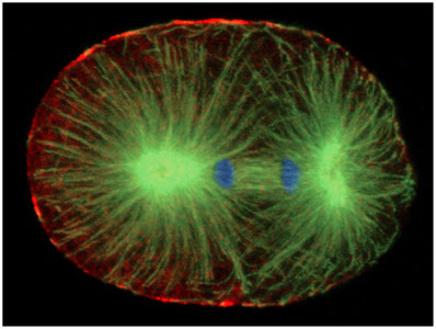 Acotmyosin skeleton