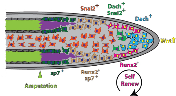 Wnt produced by the RPN orchestrates bone regeneration
